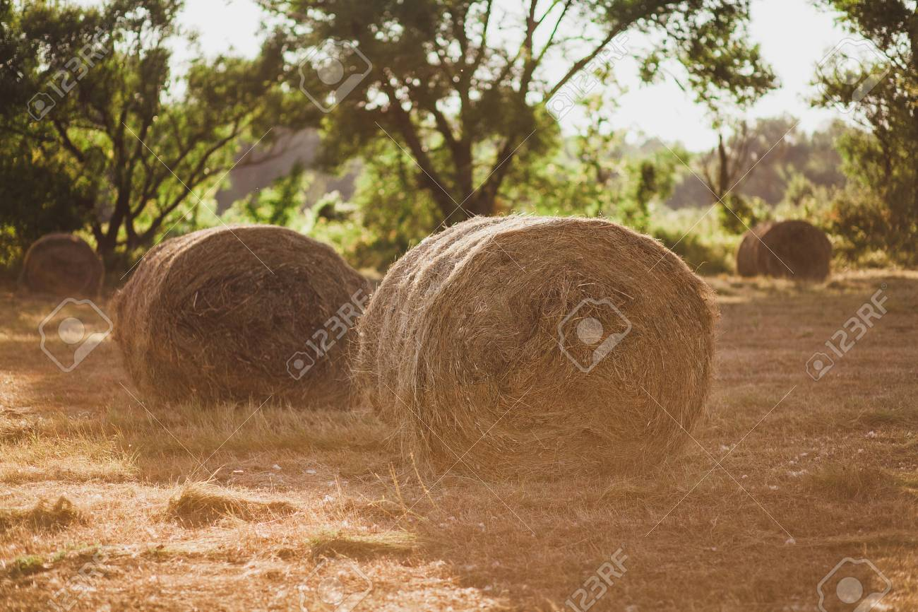 Stacks Of Dry Hay Ready Fo Storage For Winter Season On Countryside Summer  Field. Beautiful