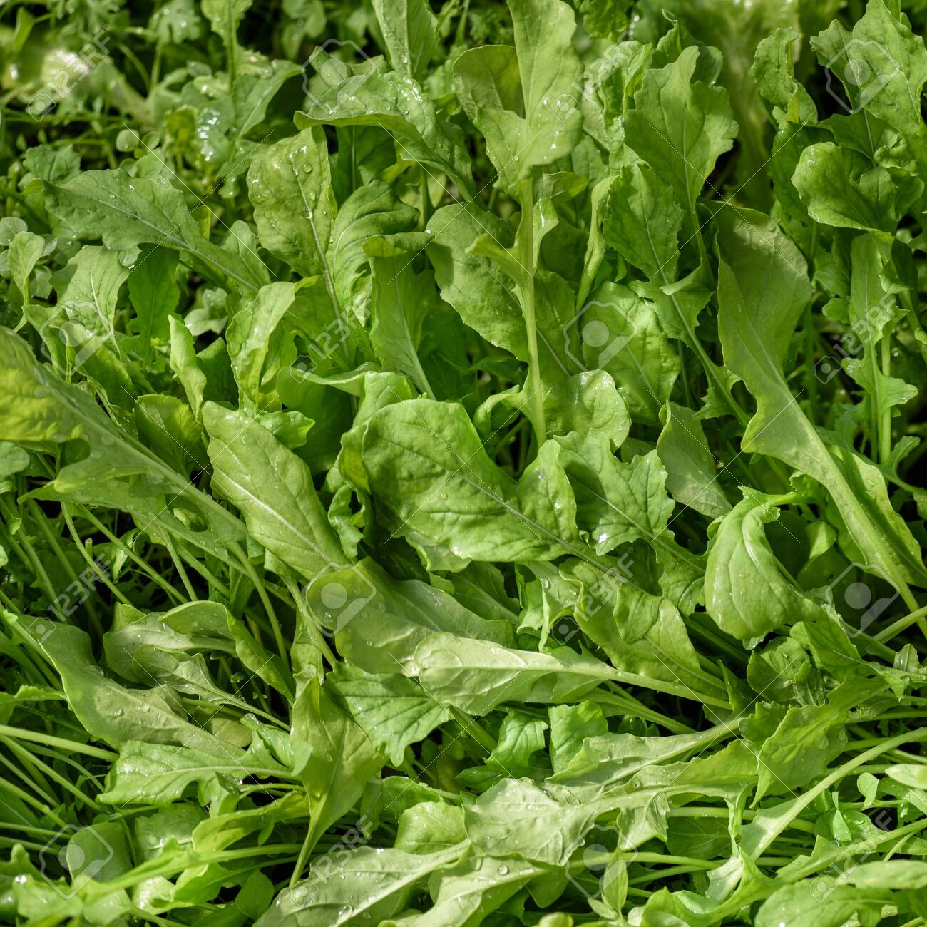 A young, green rucola salad, for dietary nutrition, growing on the bed. - 144498076