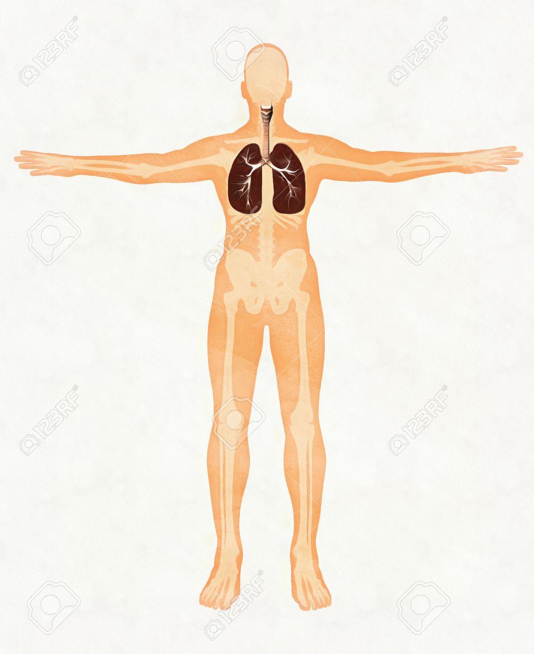 Respiratory System. Human Trachea And Bronchi, Larynx. Trachea ...