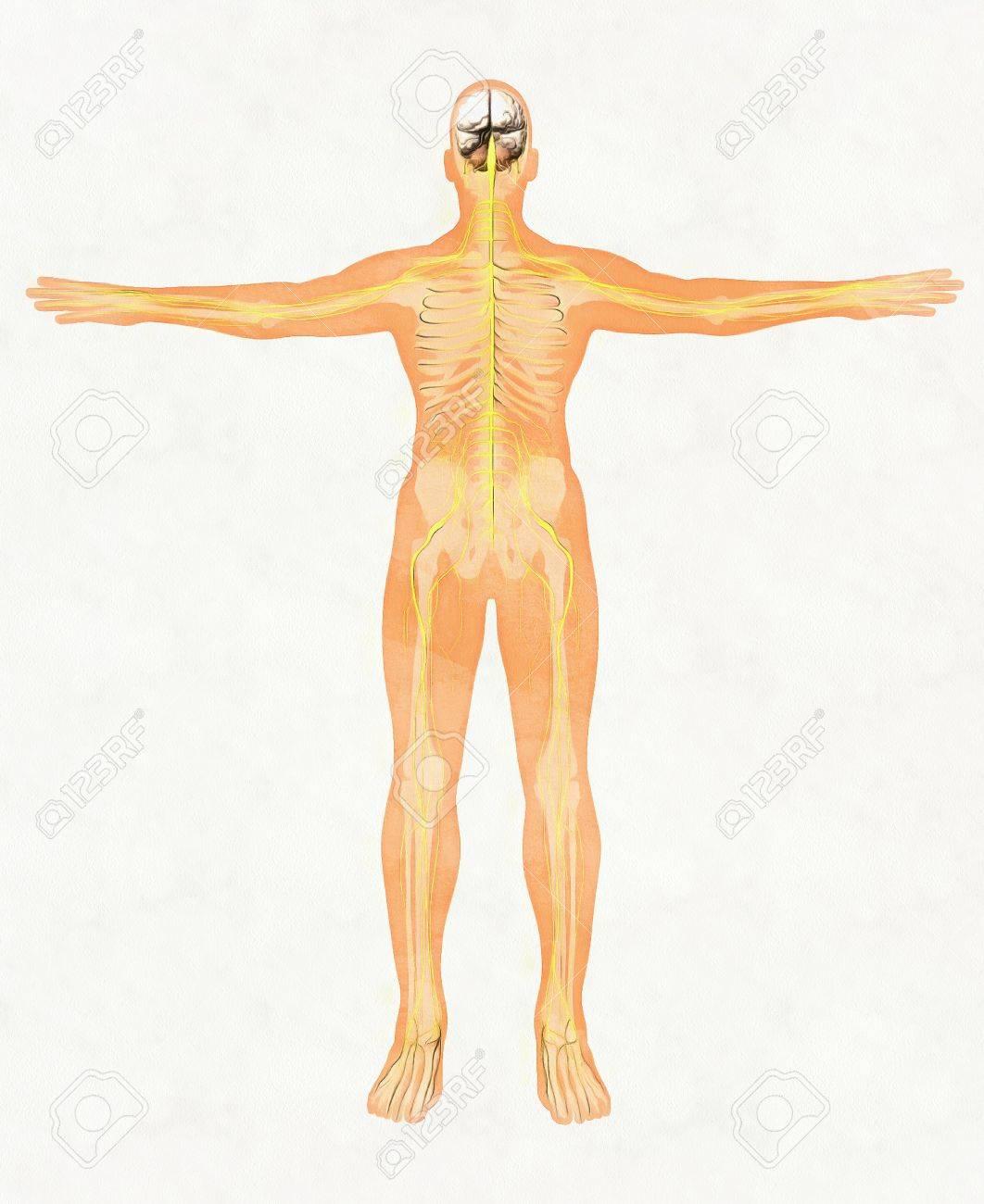 Menschlicher Körper Silhouette Und Nervensystem Lizenzfreie Fotos ...