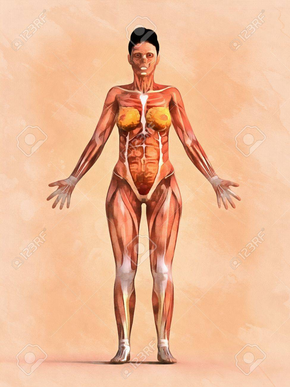 Anatomy Of Muscular System Front And Side View Female Version