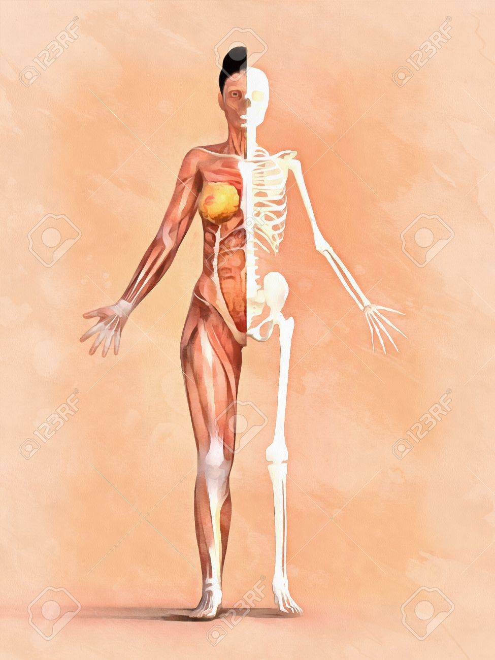 Woman Skeleton. Anatomy Of Muscular System Stock Photo, Picture And ...