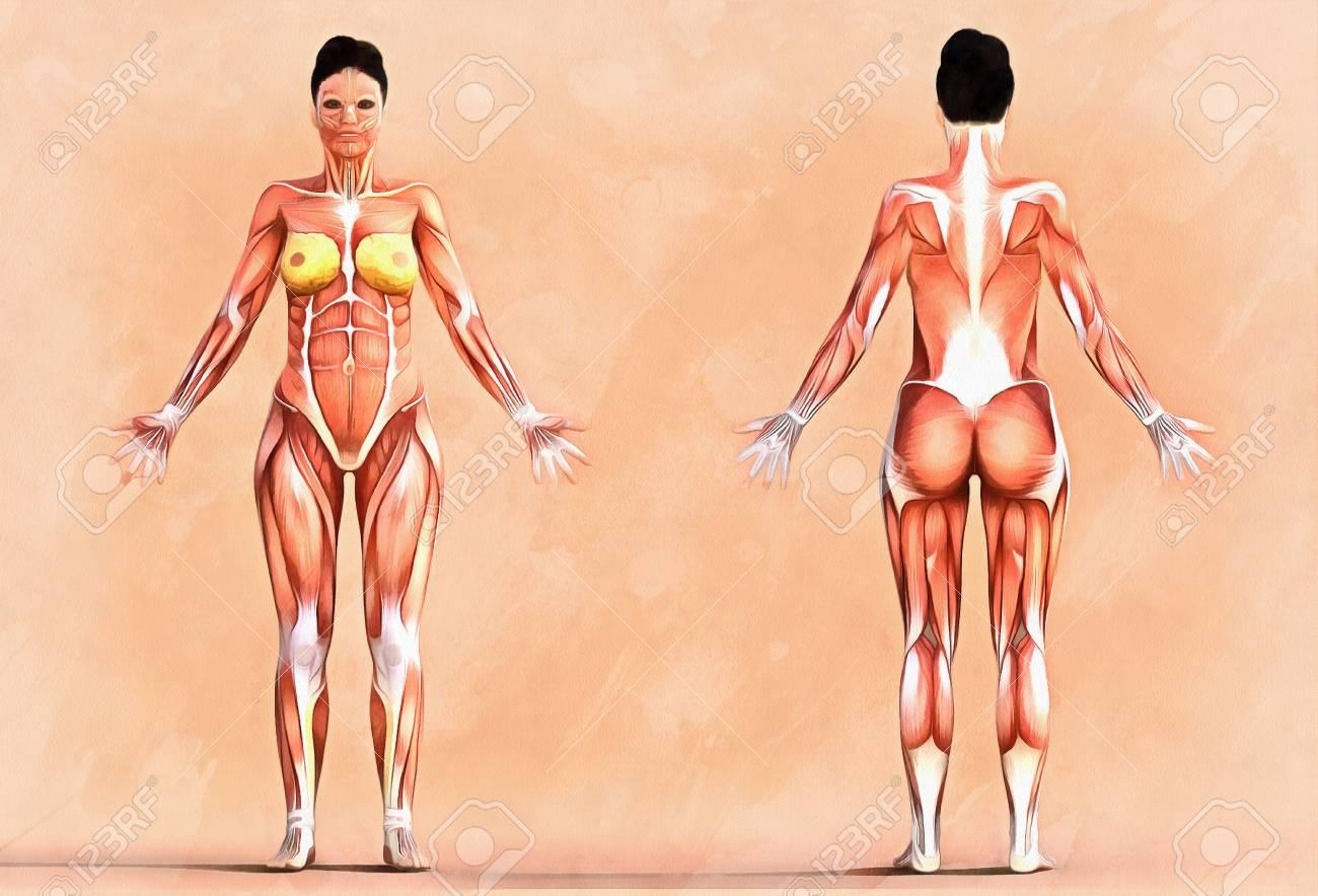 Anatomía Del Sistema Muscular - Vista Frontal Y Lateral, Versión ...