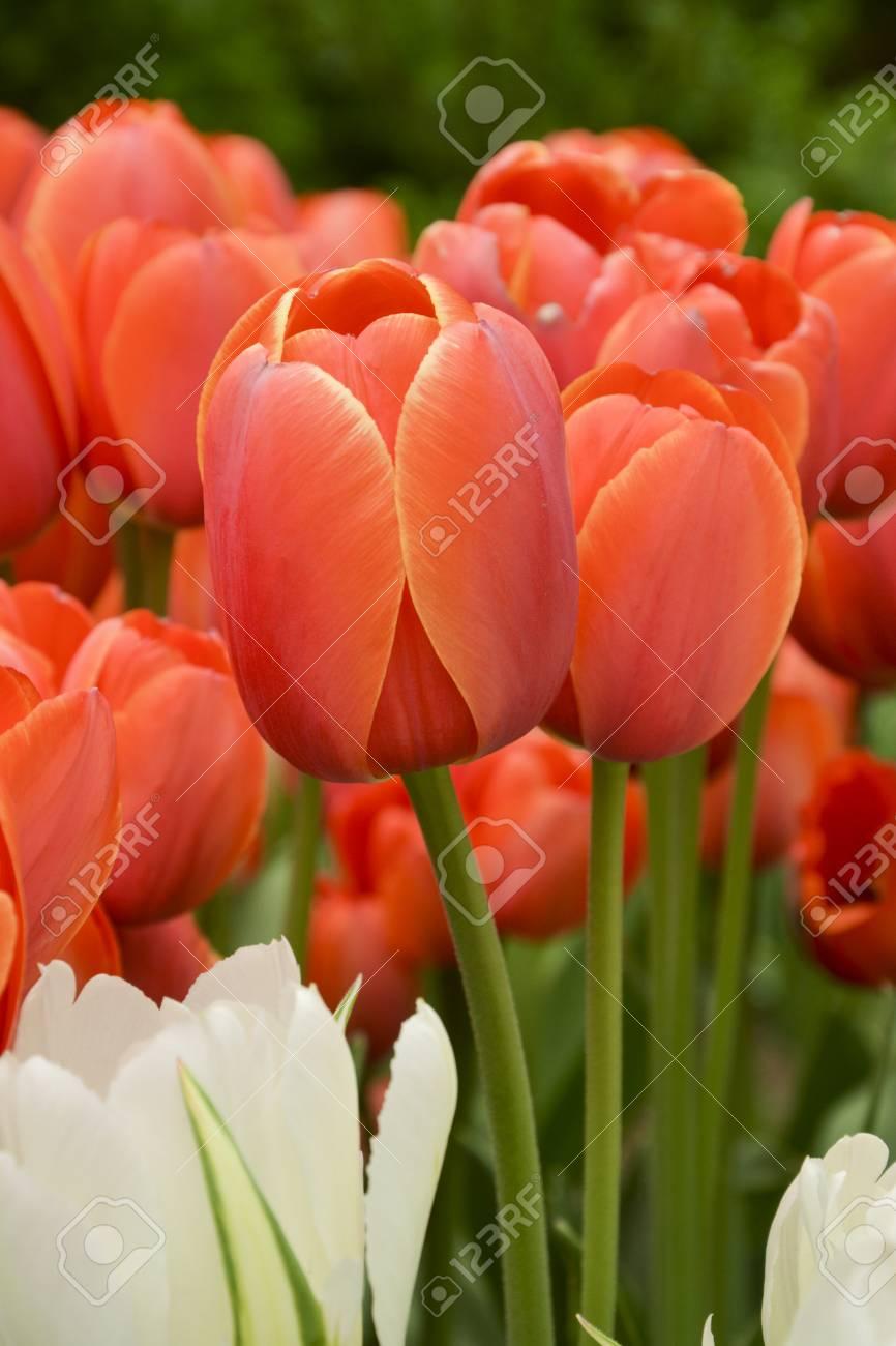 Belle tulipe rouge colorée \'Ad Rem\' dans le parterre de fleurs, jardin  botanique. Fine bordure jaune, transition de couleur rouge et orange. \'Ad  Rem\', ...