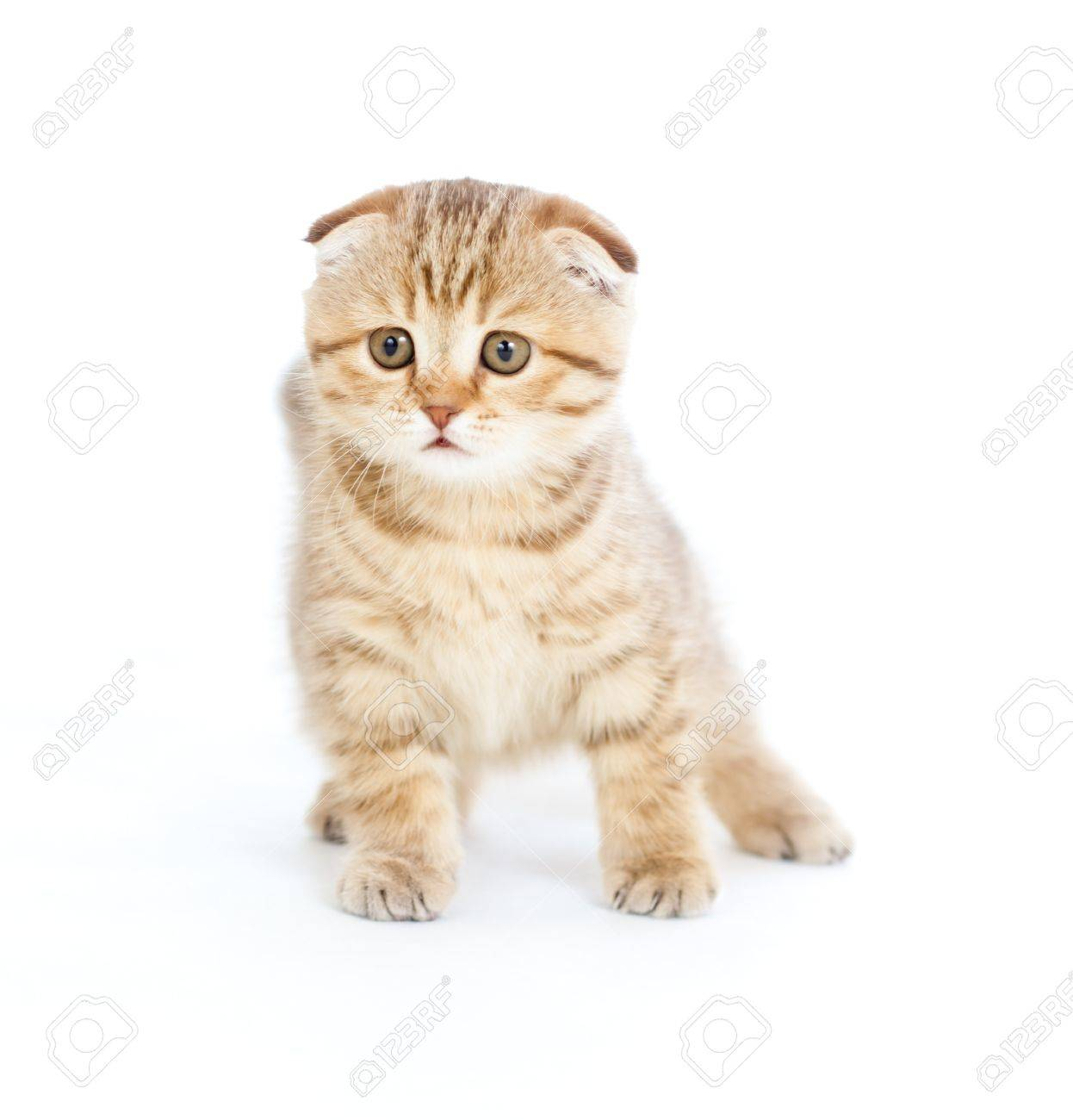 Striped Scottish kitten fold pure breed staying four legs isolated Stock Photo - 8611502