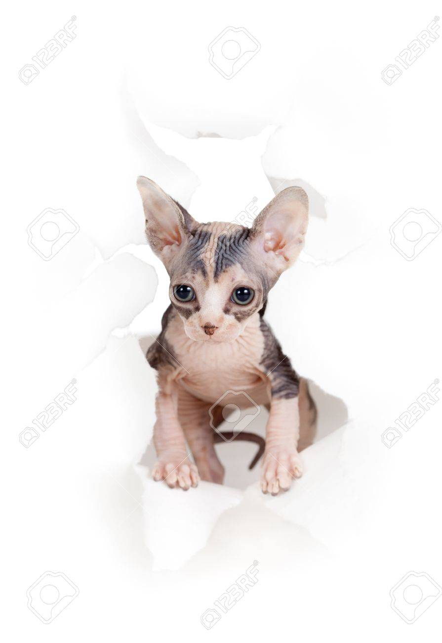 cat in paper side torn hole isolated Stock Photo - 12202008