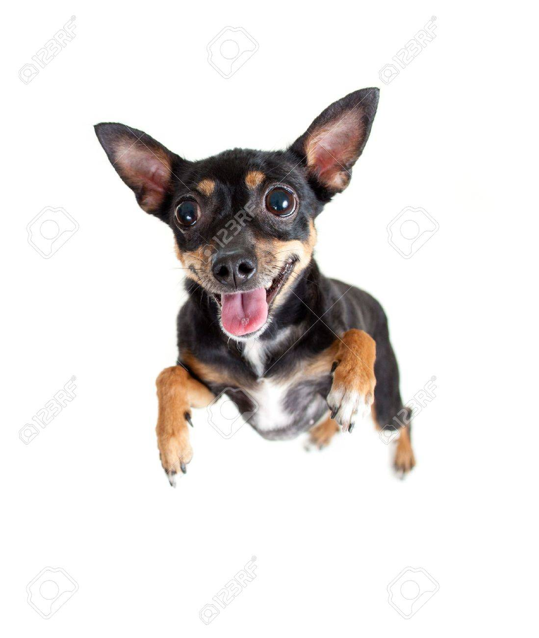 jumping flying toy terrier dog or top view Stock Photo - 12783769