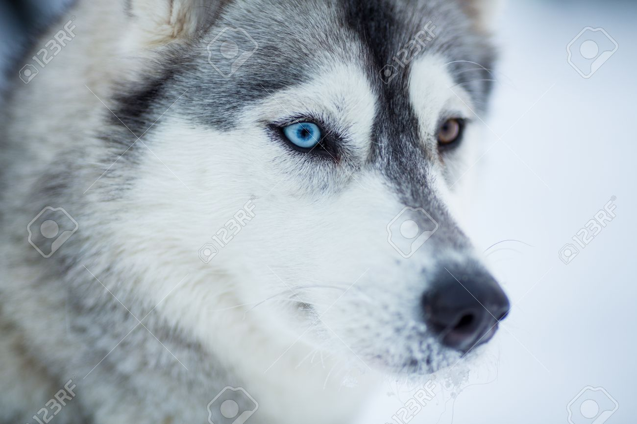 Siberian Husky Dog Closeup Portrait Stock Photo Picture And Royalty