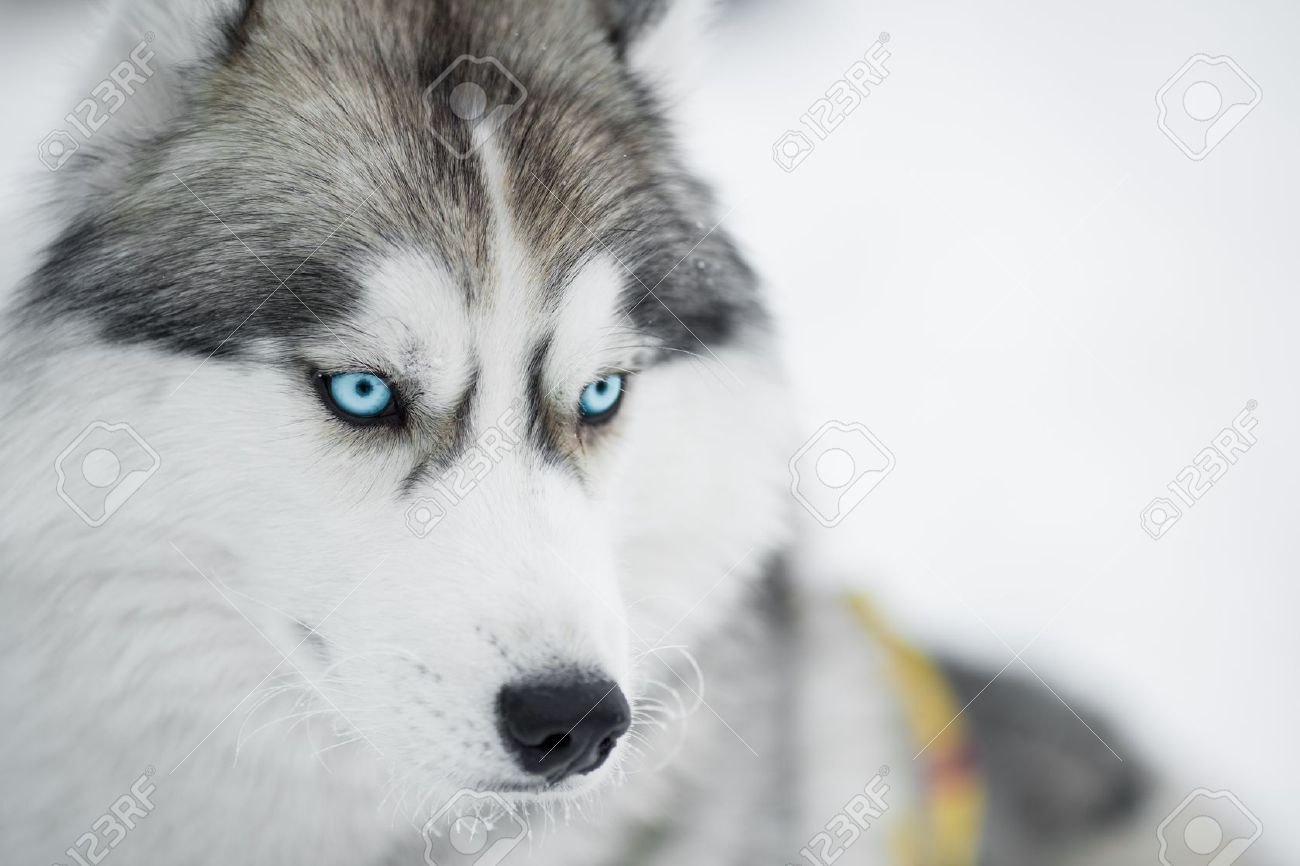 Siberian Husky Sled Dog Closeup Portrait Stock Photo Picture And