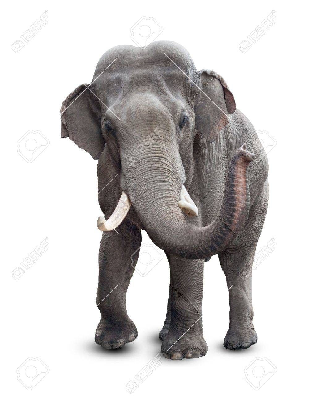 elephant front stock photos royalty free elephant front images