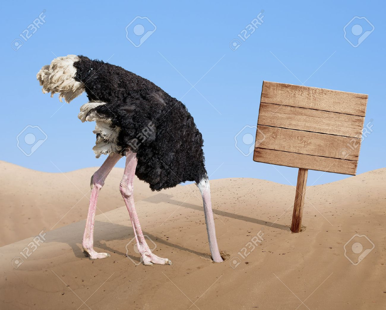 scared ostrich burying head in sand near standing blank wooden signboard - 32233160
