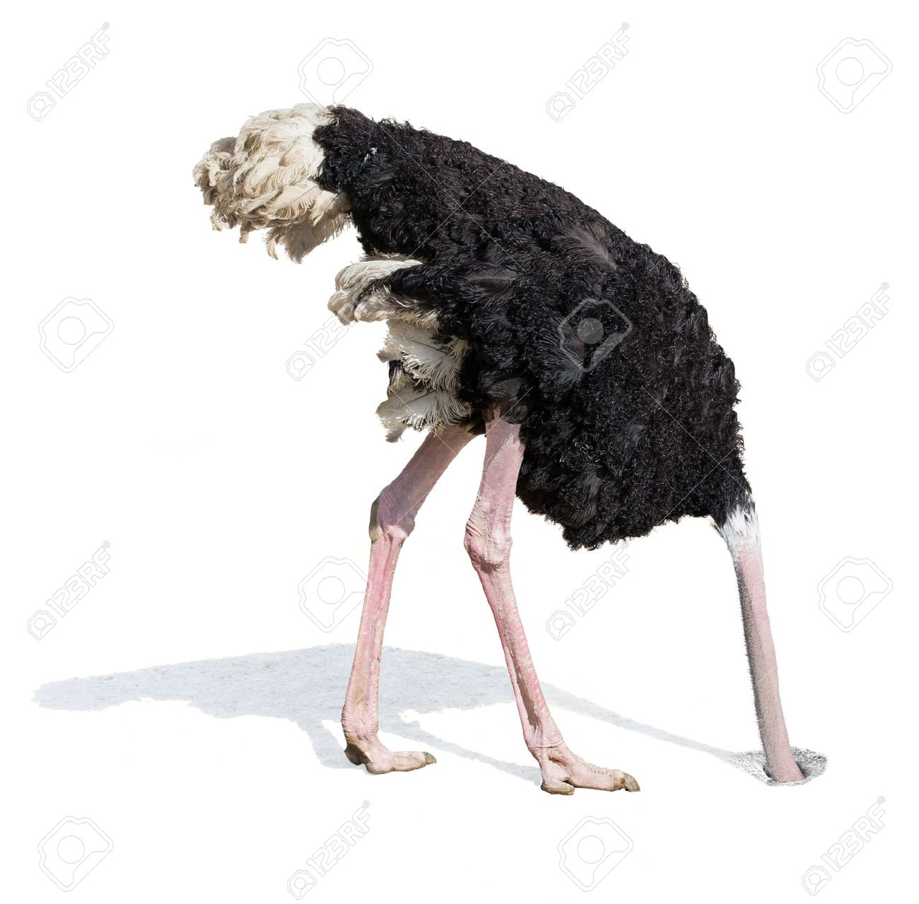ostrich burying head in sand ignoring problems concept stock
