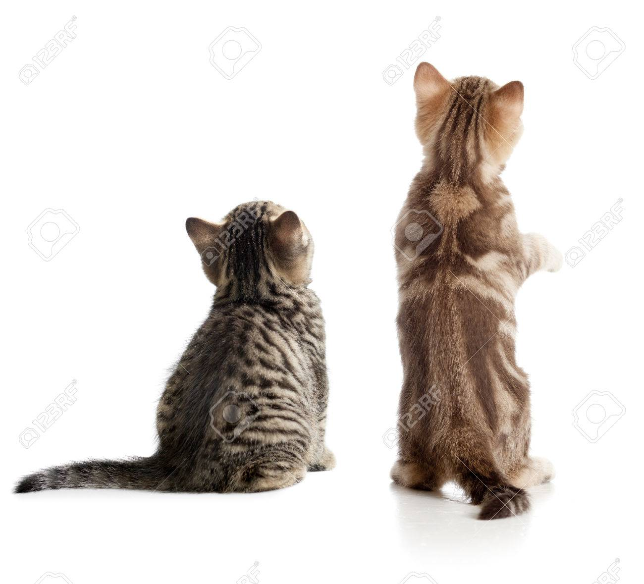 Cat back view. Two kittens sitting isolated. - 57346248