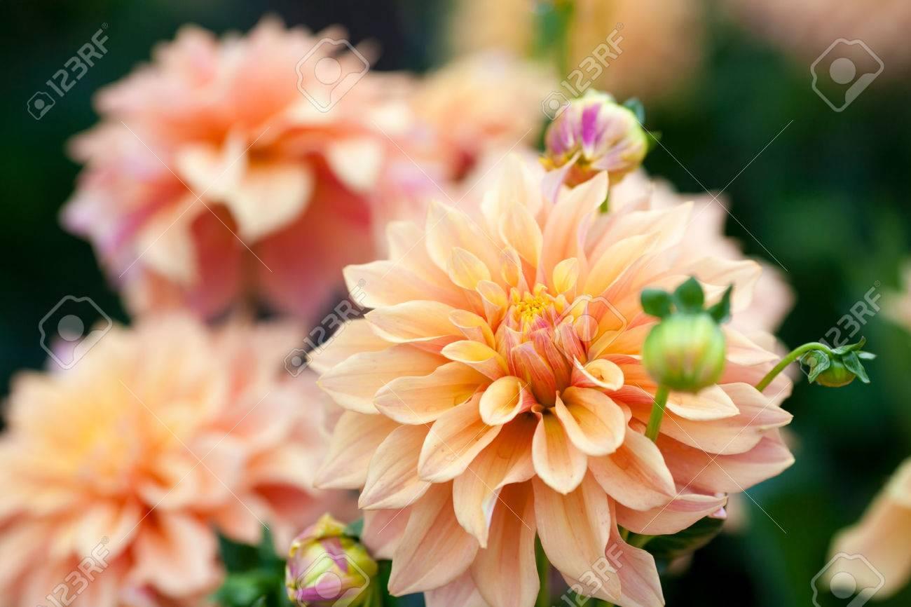 Dahlia Orange And Yellow Flowers In Garden Full Bloom Stock Photo