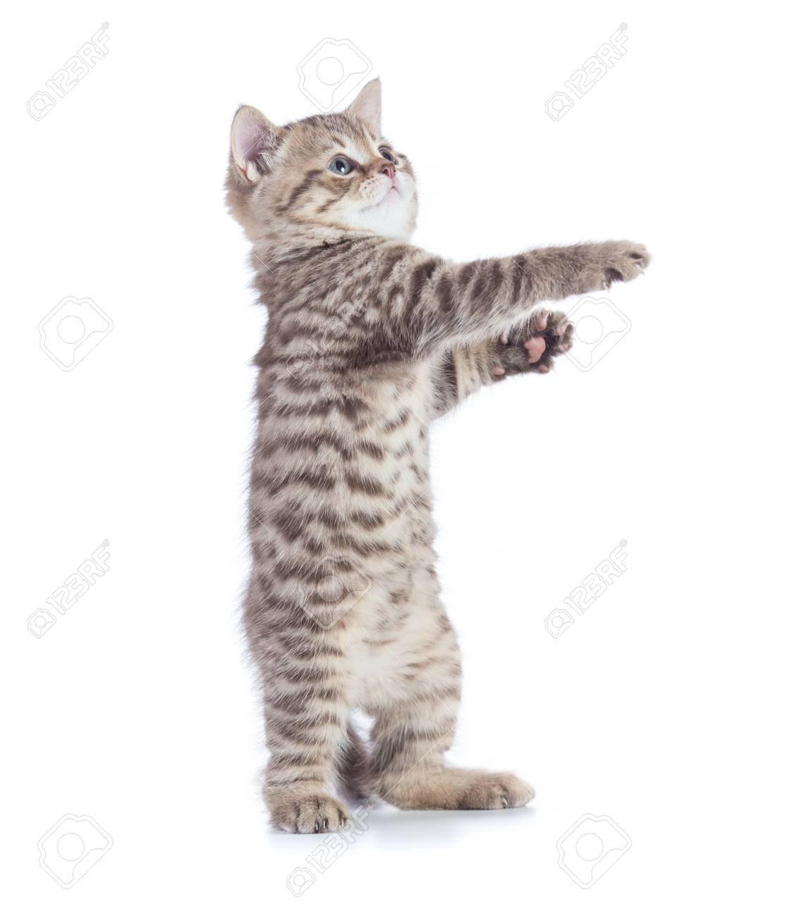 Image of: Animal Funny Cat Standing Side View Isolated On White Stock Photo 84287625 123rfcom Funny Cat Standing Side View Isolated On White Stock Photo Picture
