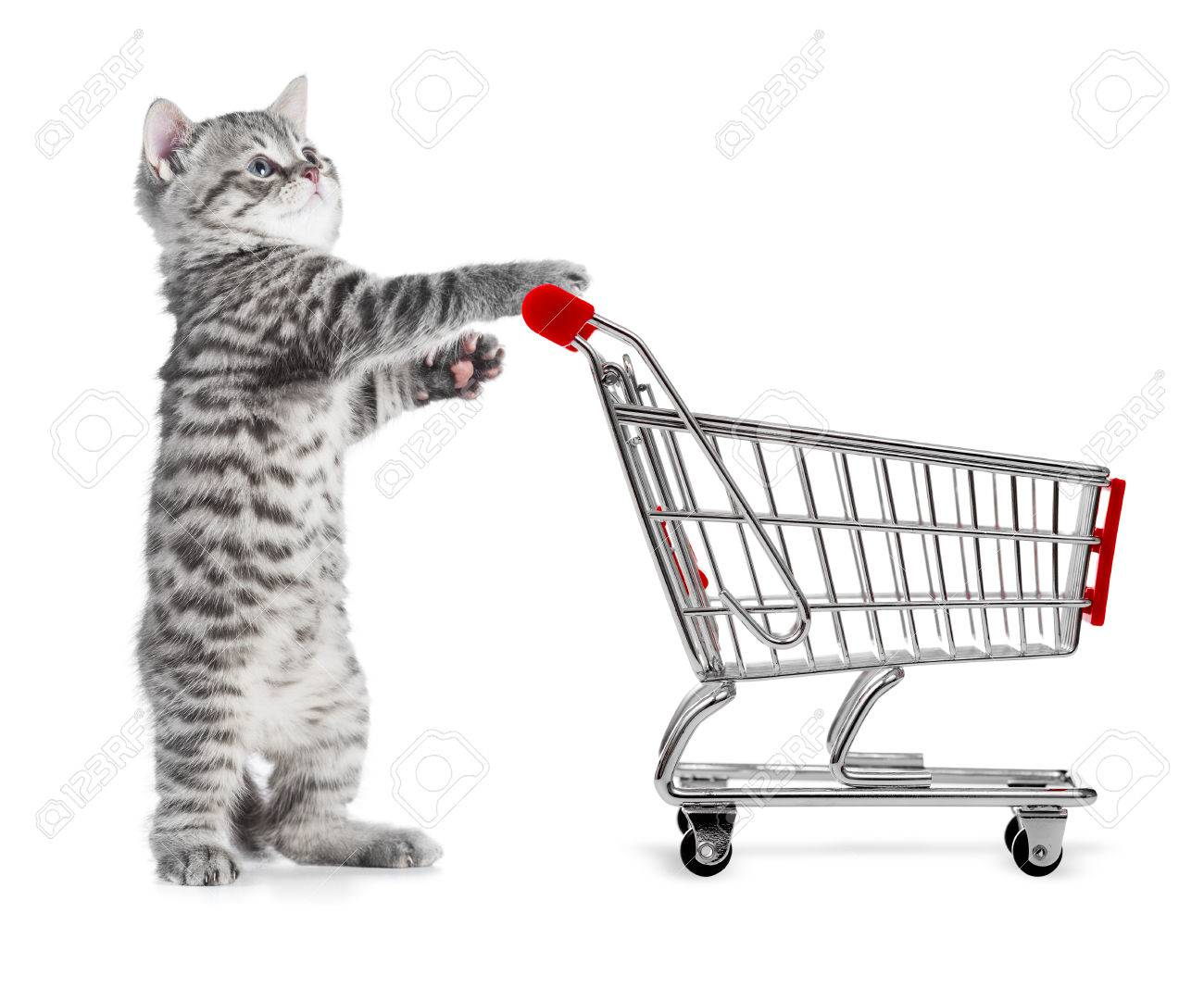 funny grey cat with shopping cart side view isolated on white stock