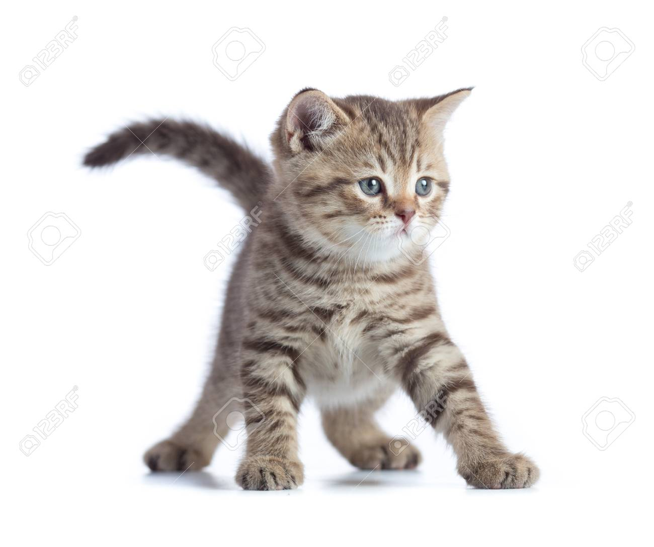 Image of: Pictures Stock Photo Young Funny Cat Front View Standing Isolated On The White Background 123rfcom Young Funny Cat Front View Standing Isolated On The White Background