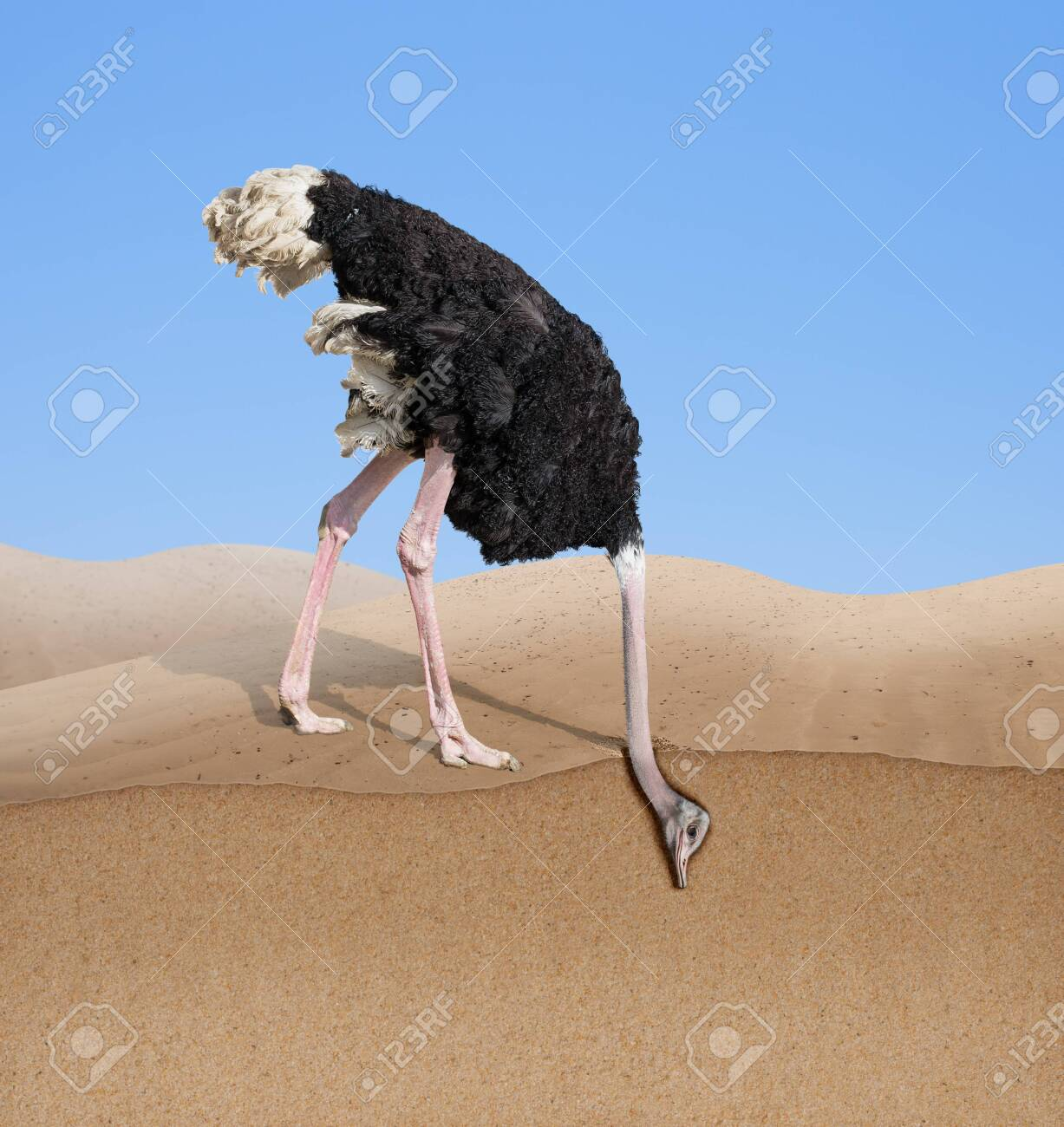 ostrich with head burying in sand - 125553684