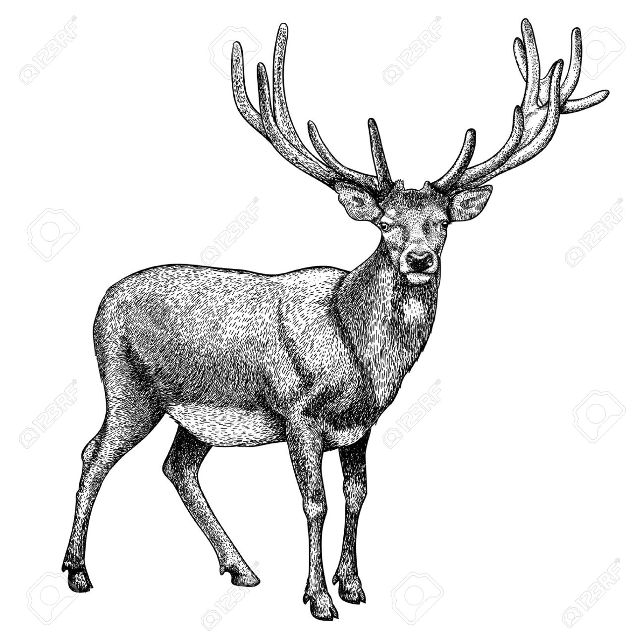 antique print of a reindeer isolated on white royalty free
