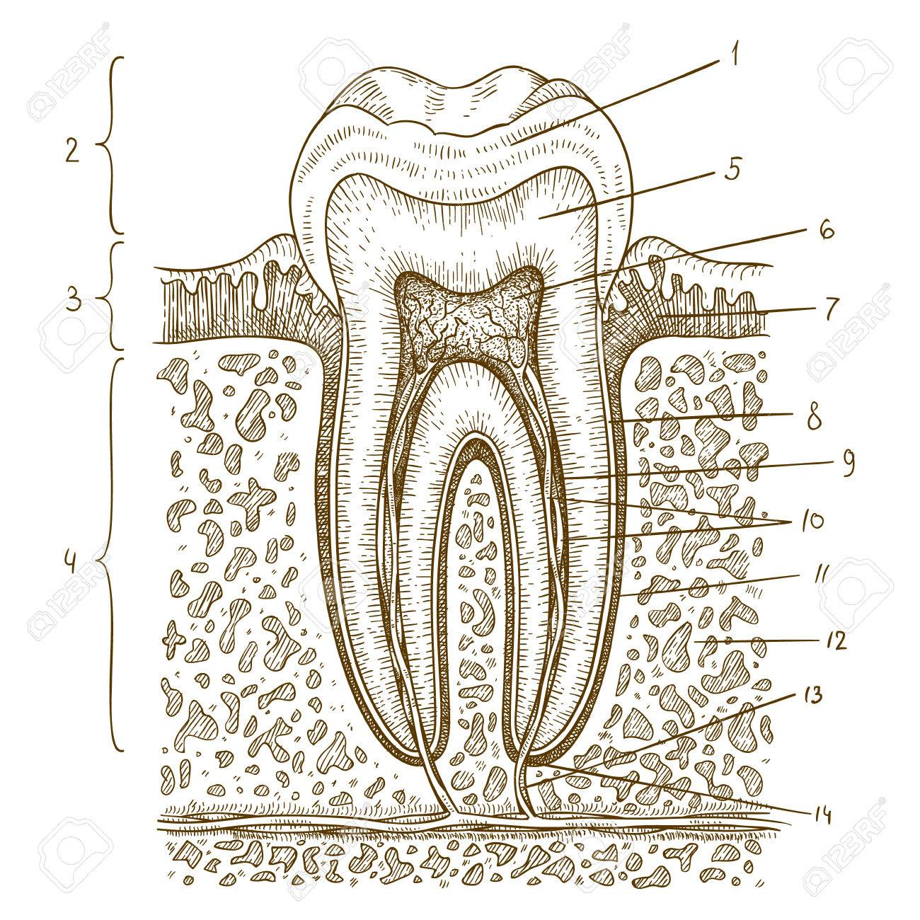 Vector engraving illustration of highly detailed hand drawn vector engraving illustration of highly detailed hand drawn human tooth diagram isolated on white background stock pooptronica Images