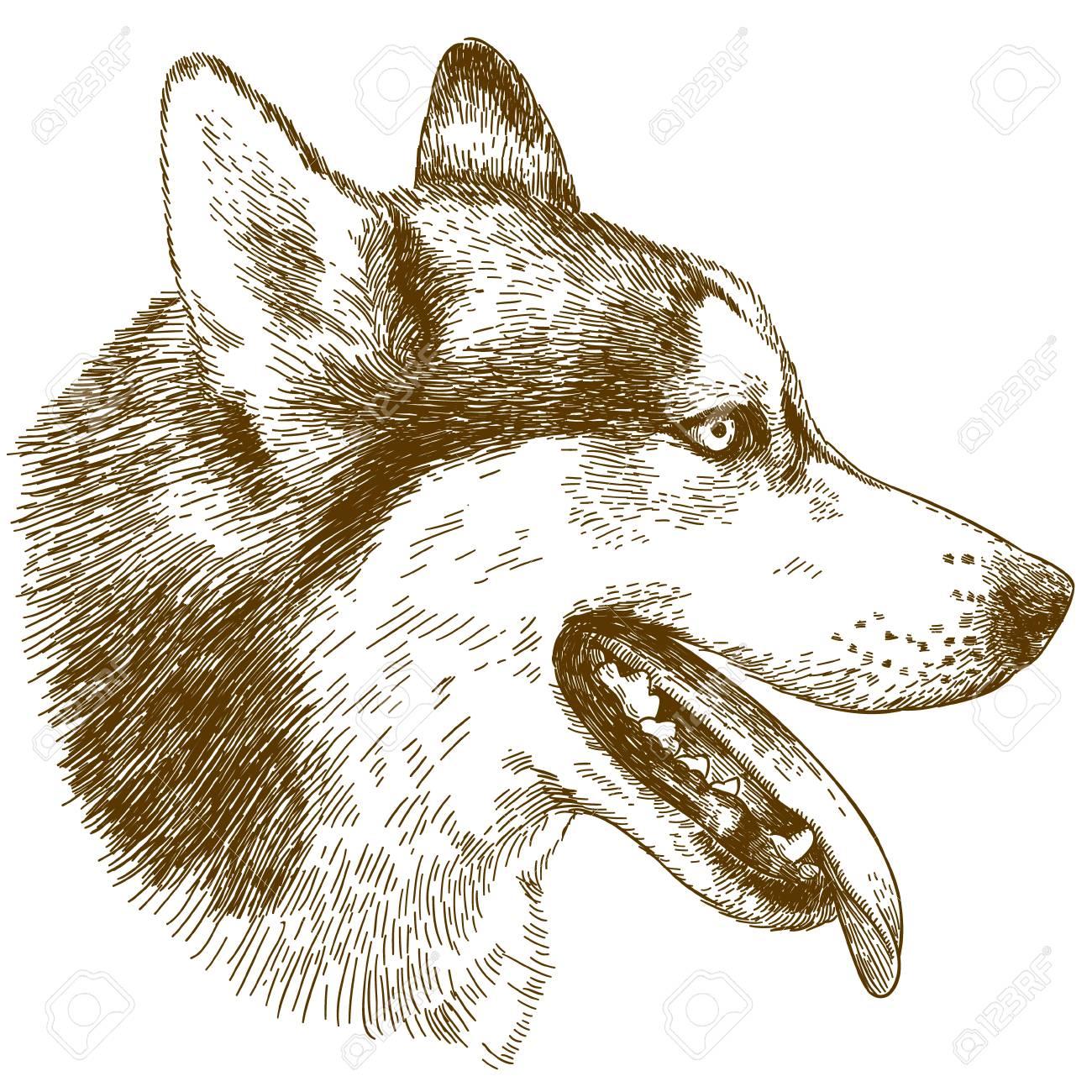 Vector Antique Engraving Drawing Illustration Of Husky Dog Head