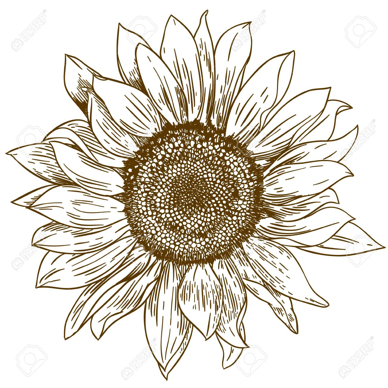 Vector antique engraving drawing illustration of big sunflower isolated on white background - 90792347