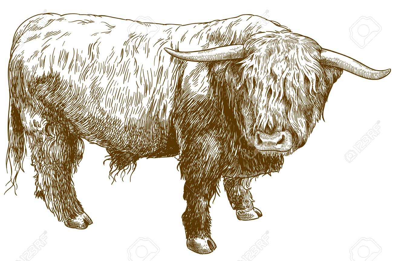 Vector antique engraving illustration of highland cattle isolated on white background - 102212585