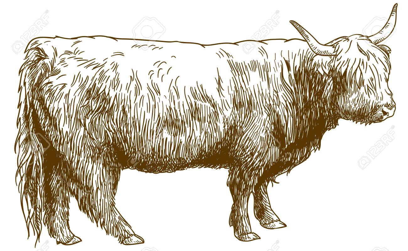Highland Cattle Png & Free Highland Cattle.png Transparent Images #152095 -  PNGio