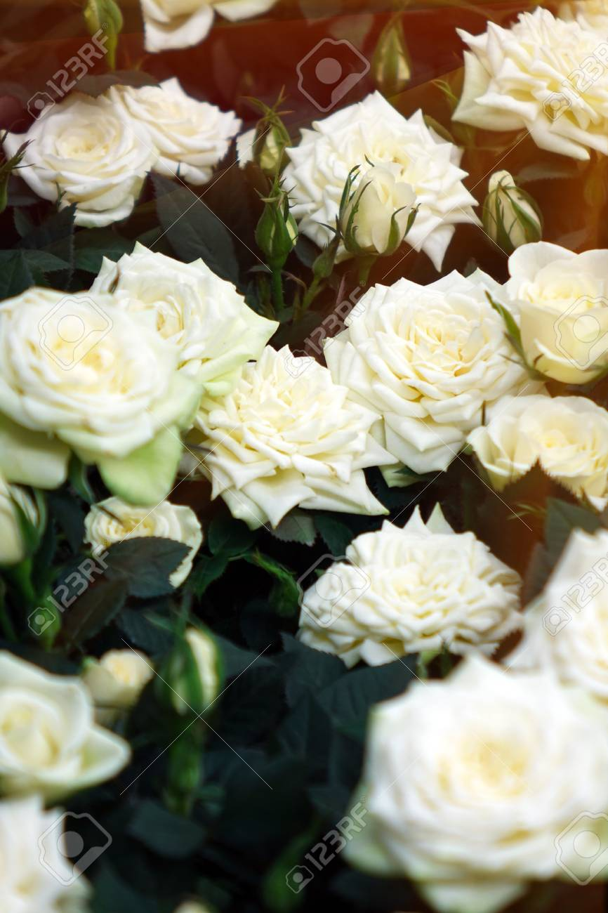 Beautiful White Roses The Flowers In The Garden Wallpaper