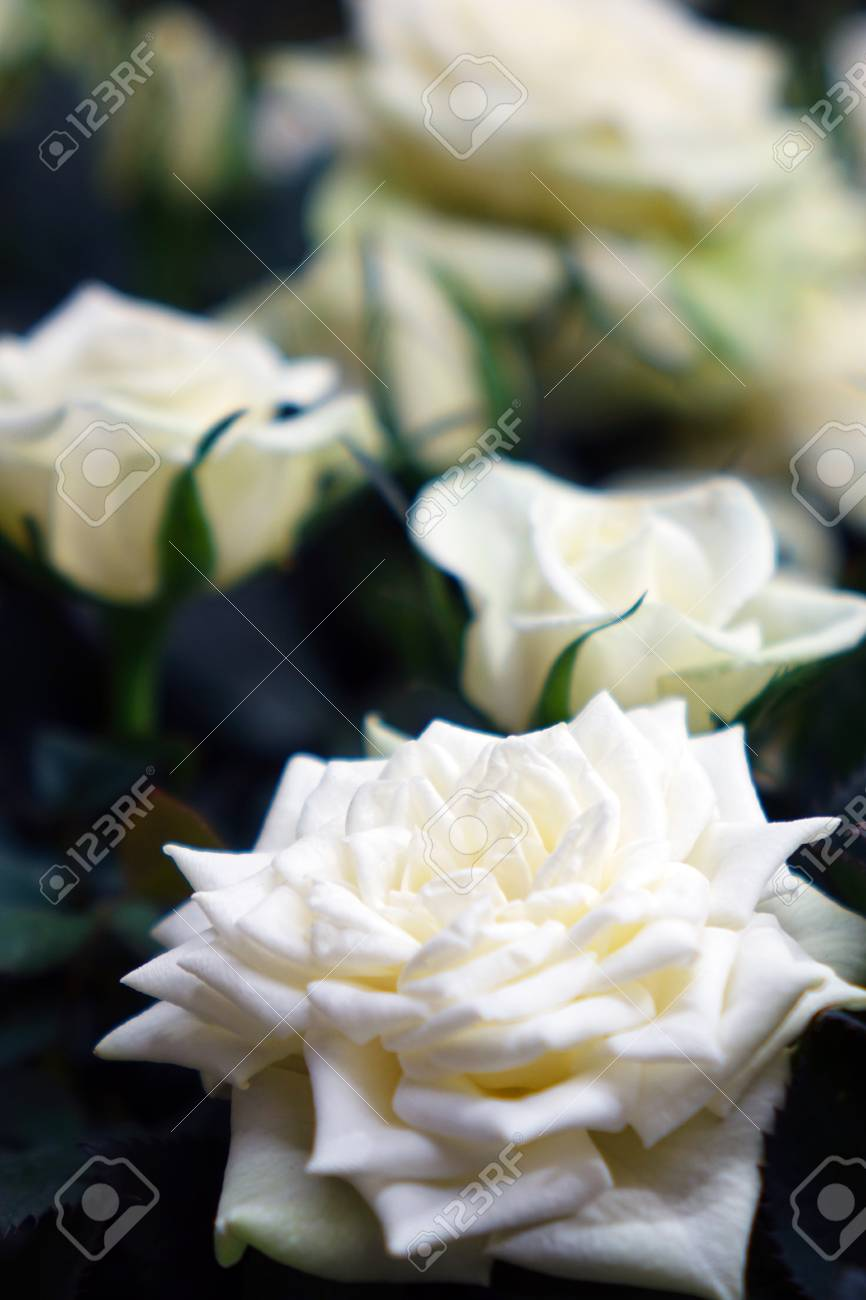 Beautiful White Roses The Flowers In The Garden Wallpaper Stock