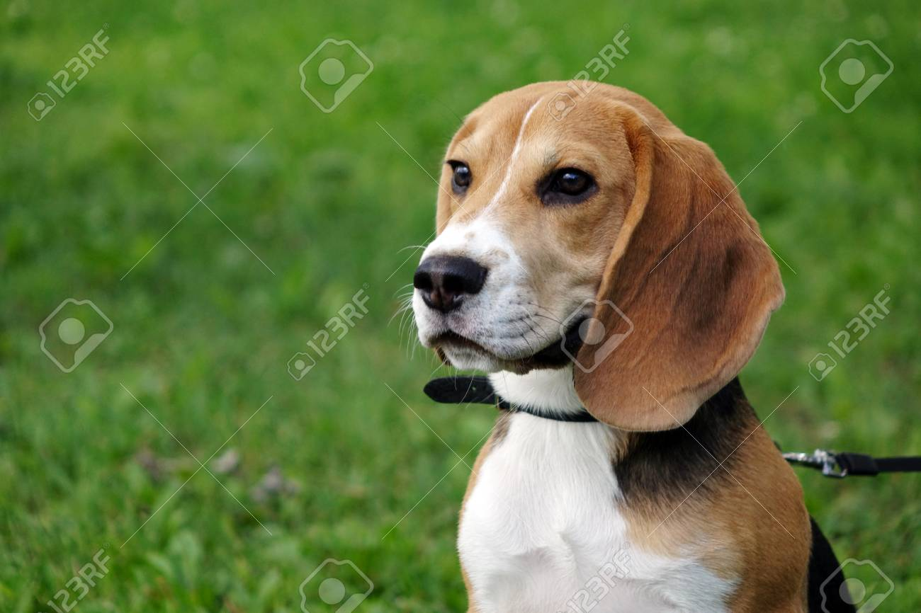 Beautiful Tri Color Beagle Puppy English Sitting On The Green Stock Photo Picture And Royalty Free Image Image 105738872