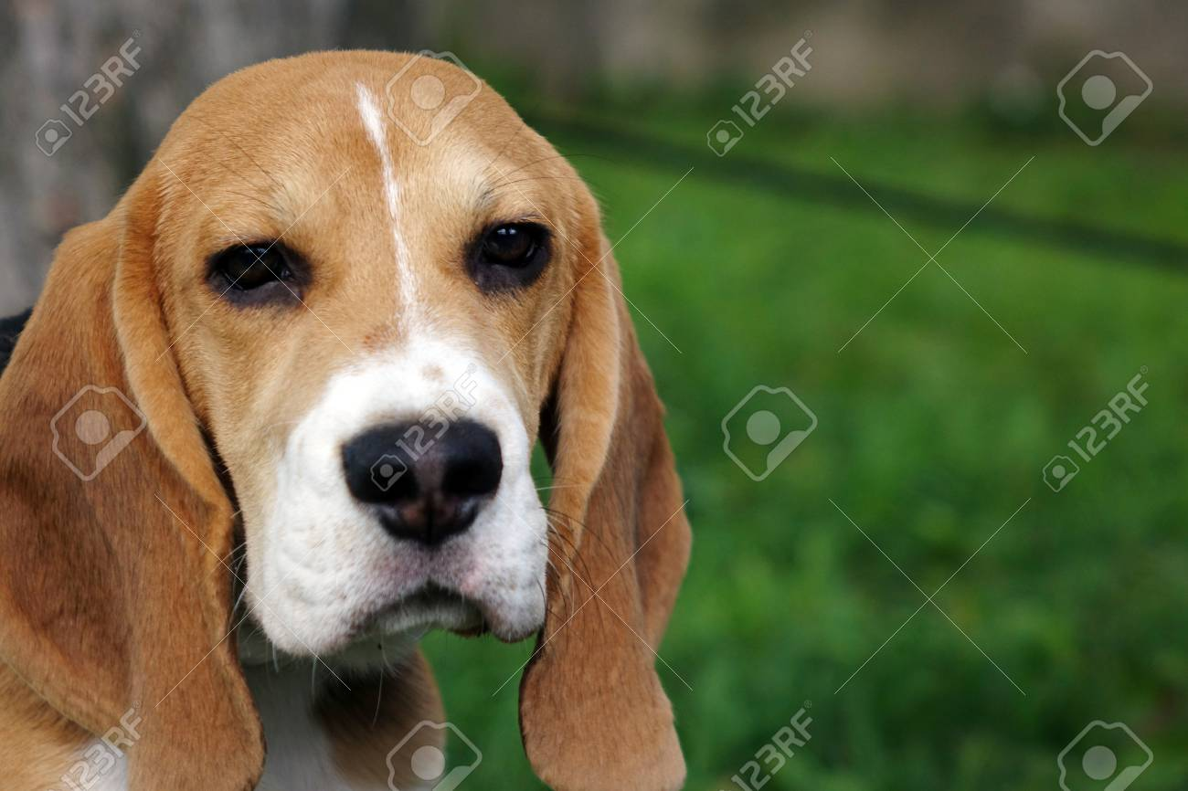 Beautiful Tri Color Beagle Puppy English Sitting On The Green Stock Photo Picture And Royalty Free Image Image 105738875