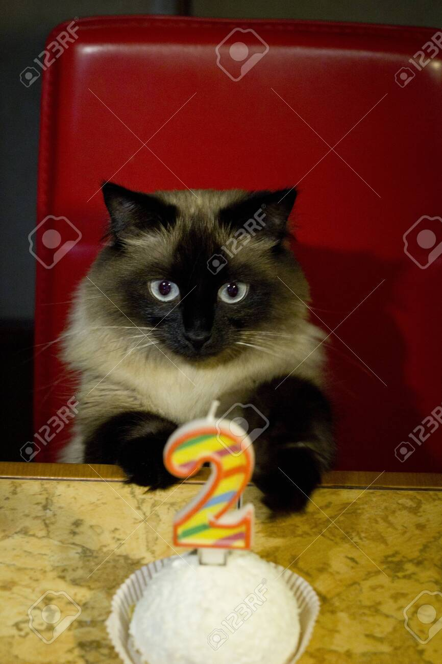Swell Beautiful Cat With Blue Eyes And Birthday Cake Stock Photo Funny Birthday Cards Online Elaedamsfinfo