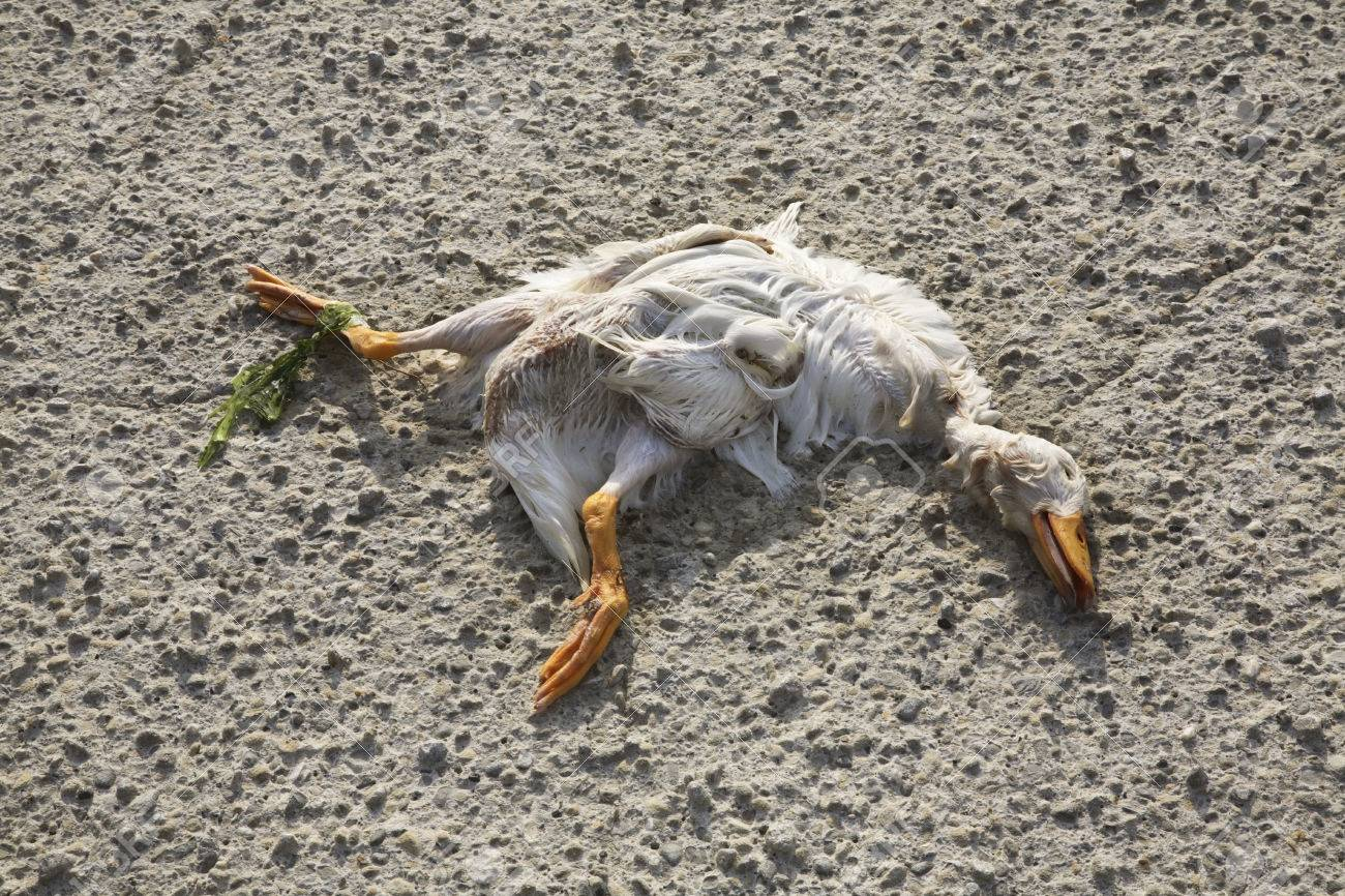 Image result for dead duck