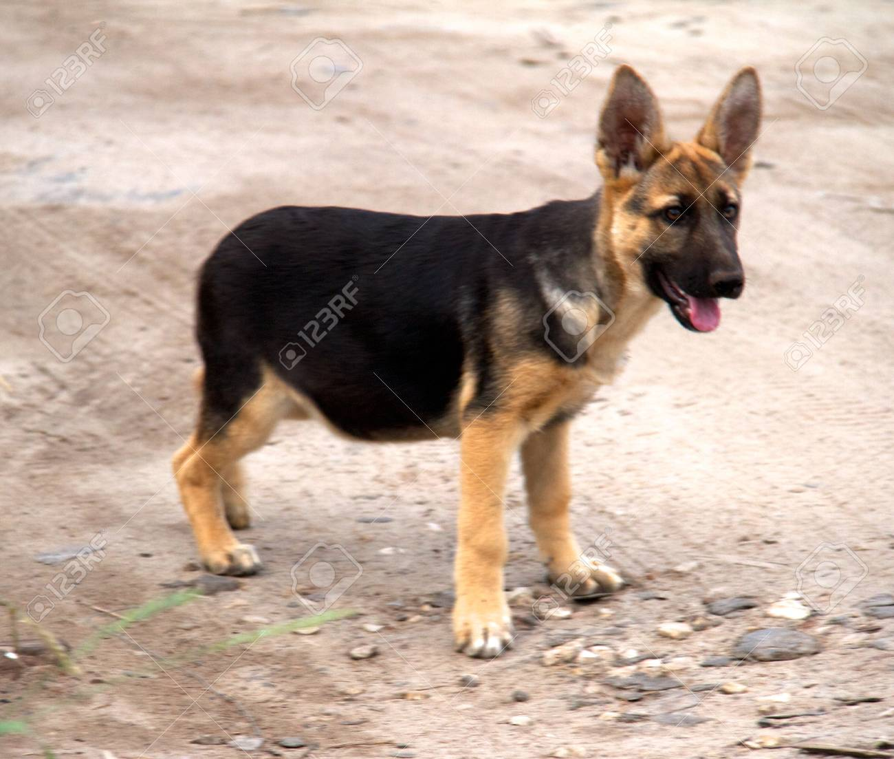 german shepherd in front of a natural green background Stock Photo - 10106719