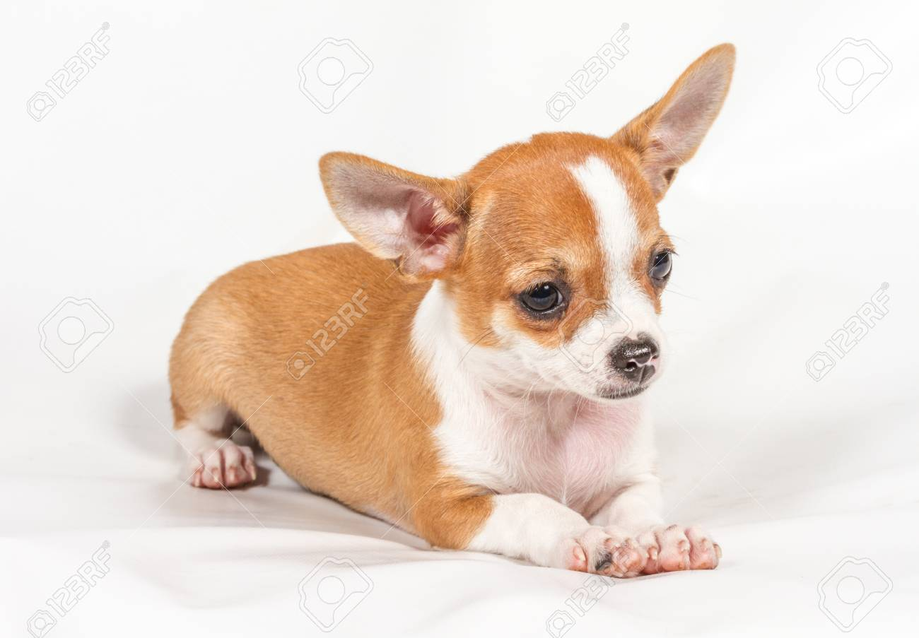 Chihuahua puppy on white background Stock Photo - 12708869