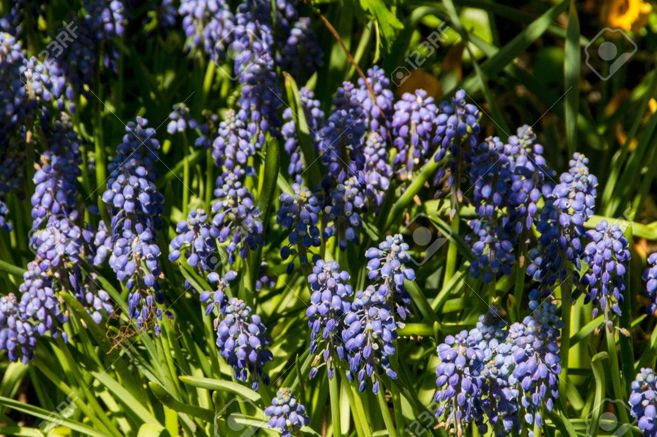 First blue springs flowers muscari stock photo picture and first blue springs flowers mightylinksfo