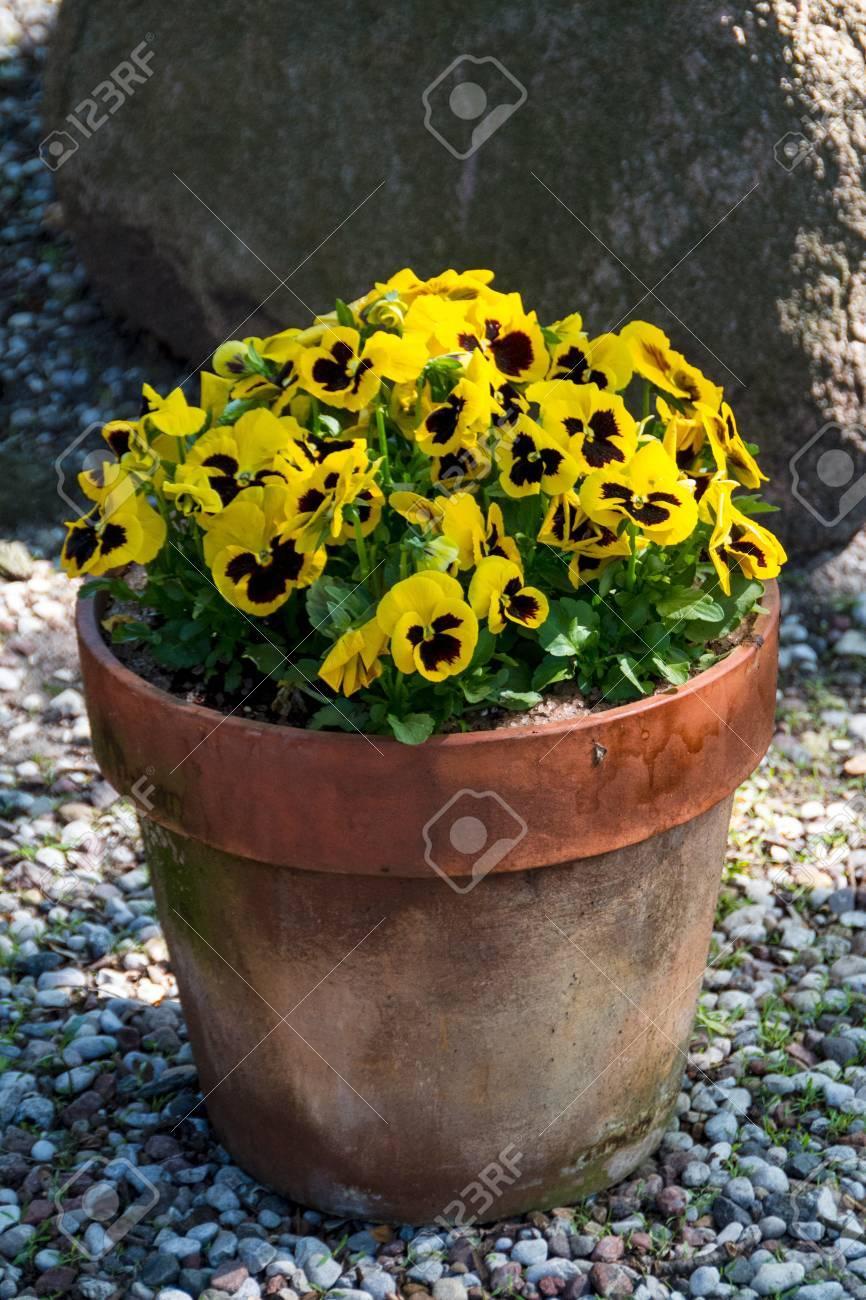 Spring flowers in the garden beautiful spring or easter scene spring flowers in the garden beautiful spring or easter scene with potted pansies stock photo mightylinksfo