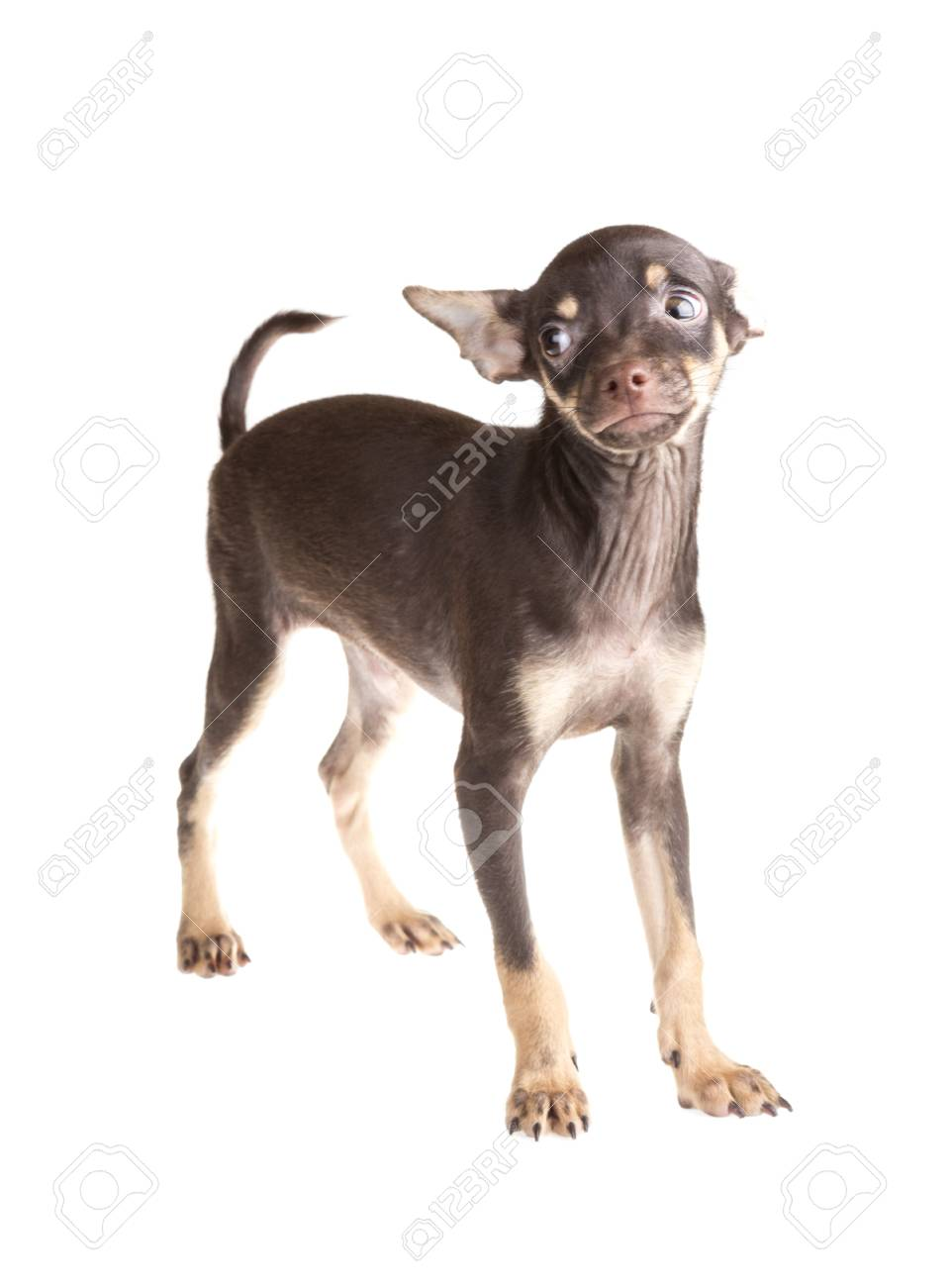 Russian toy terrier, isolated on a white background Stock Photo - 17366506
