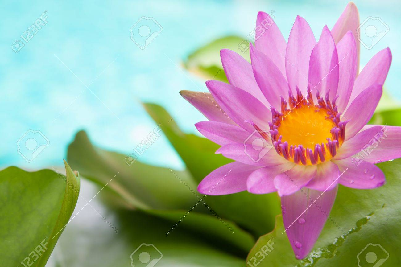 Blossoming Pink Lotus Flower On Bright Turquoise Water Background