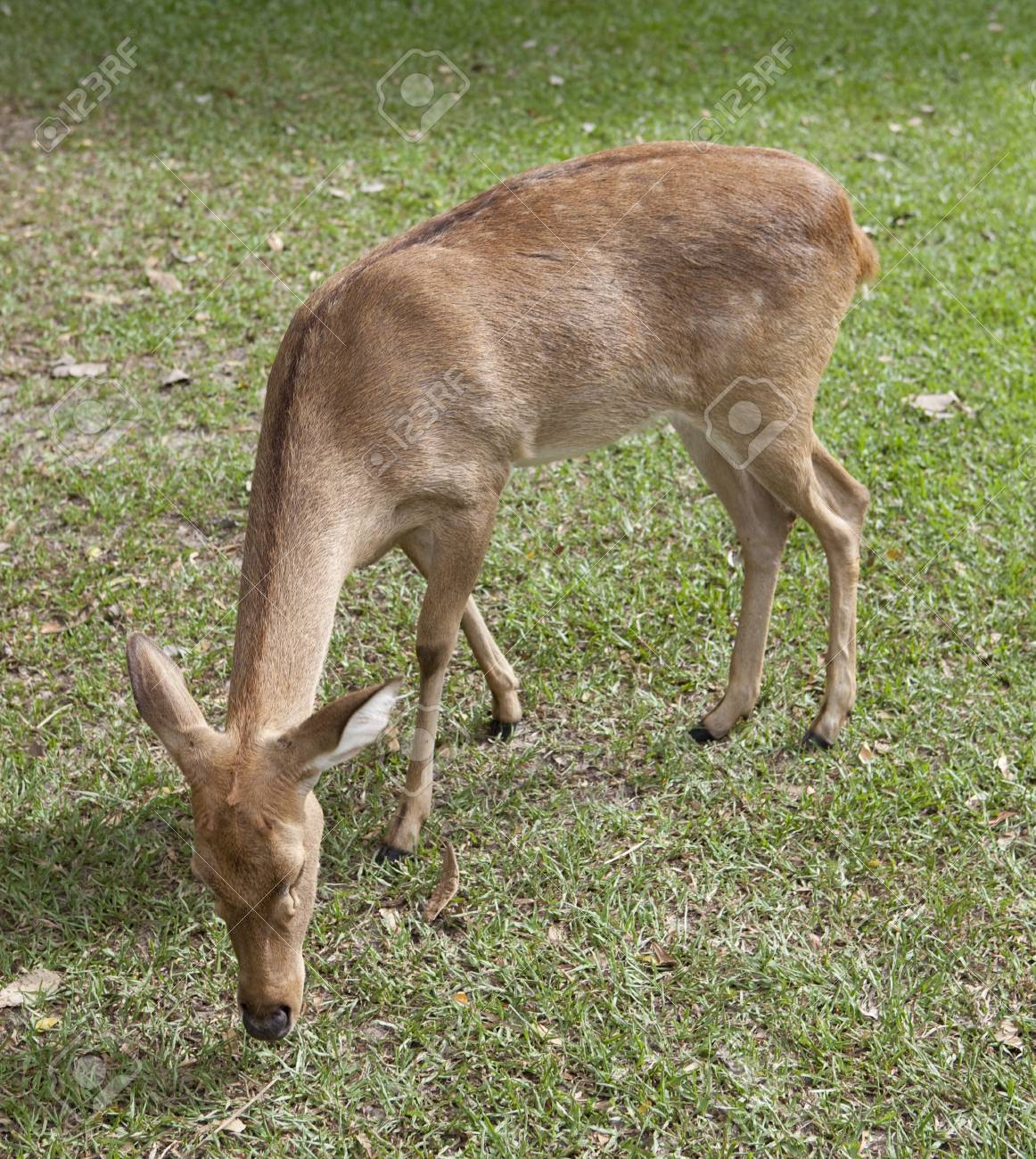 Eld's deer from Thailand (Cervus eldii siamensis) Stock Photo - 16685584