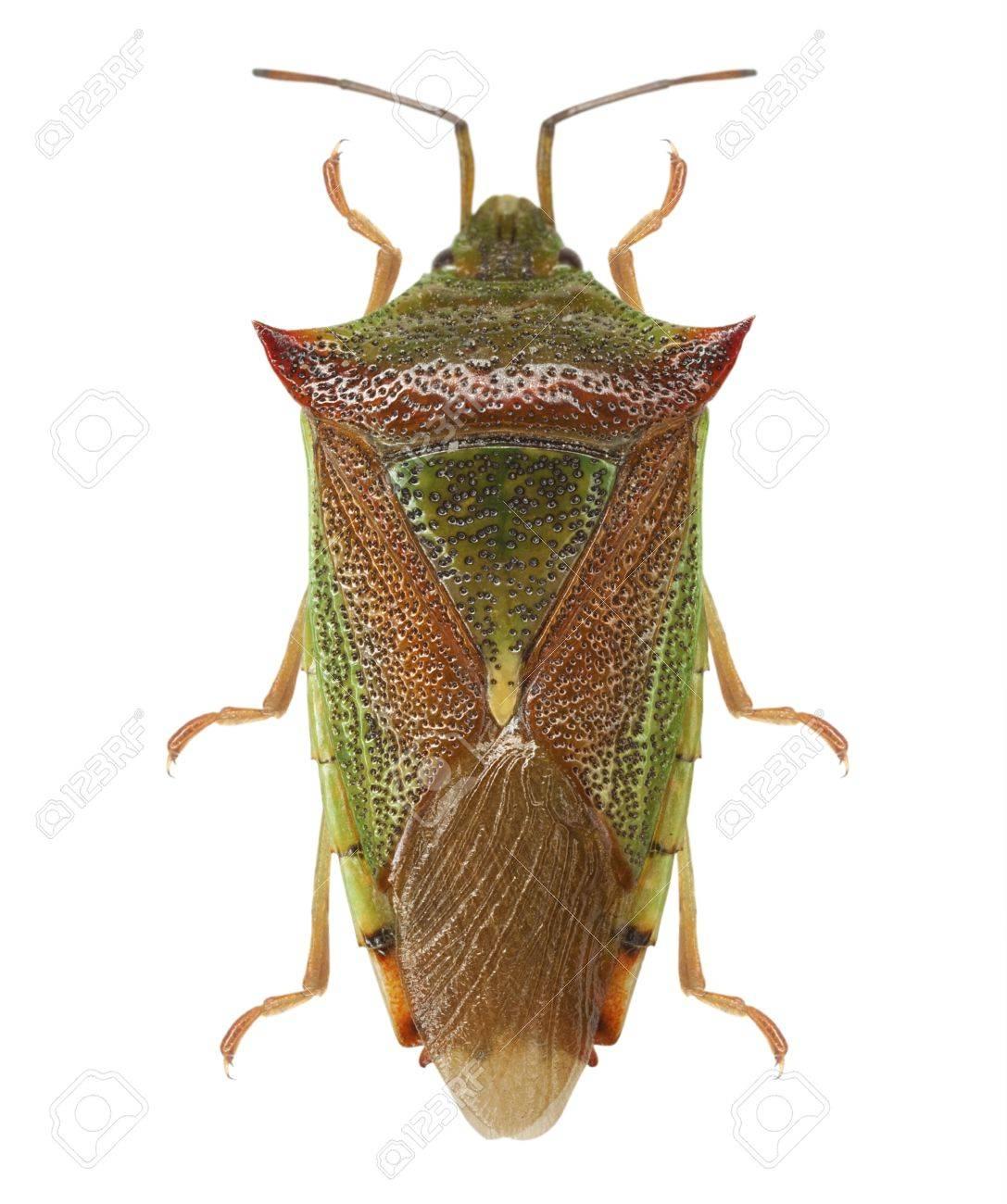 Green shield bug (Palomena prasina) isolated Stock Photo - 20362394