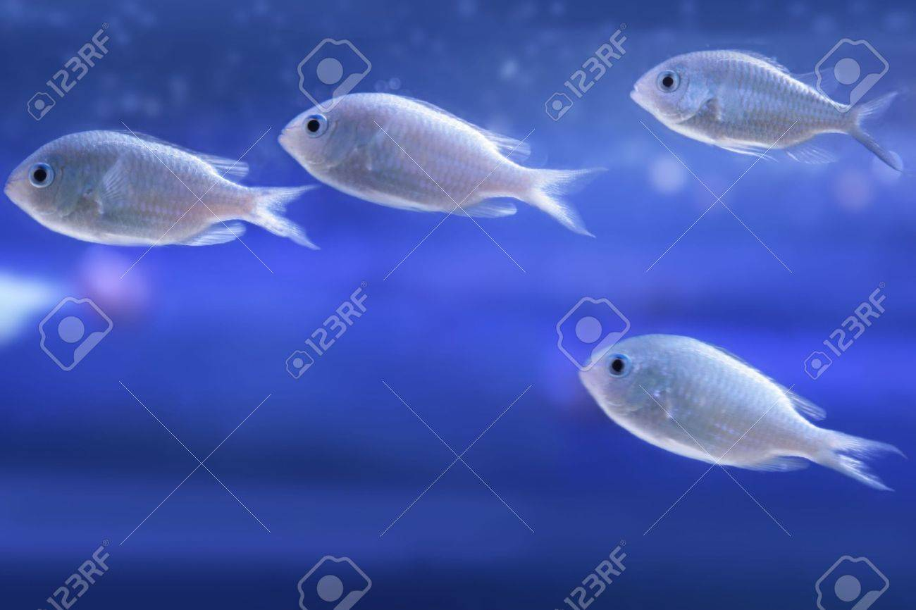 Sea small fishes (chromis viridis). Stock Photo - 2661088