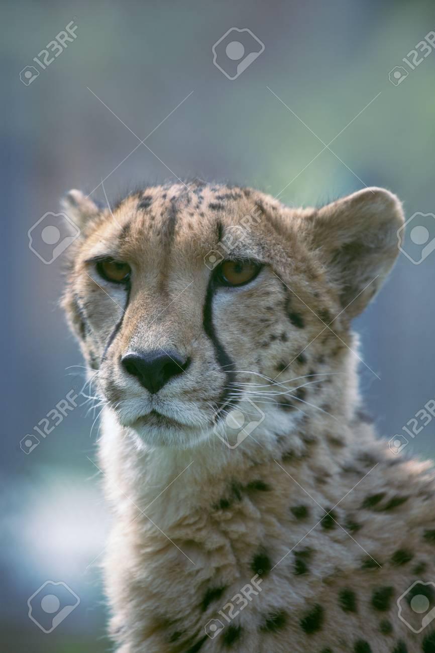 Сlose up a  cheetah. Stock Photo - 3697944