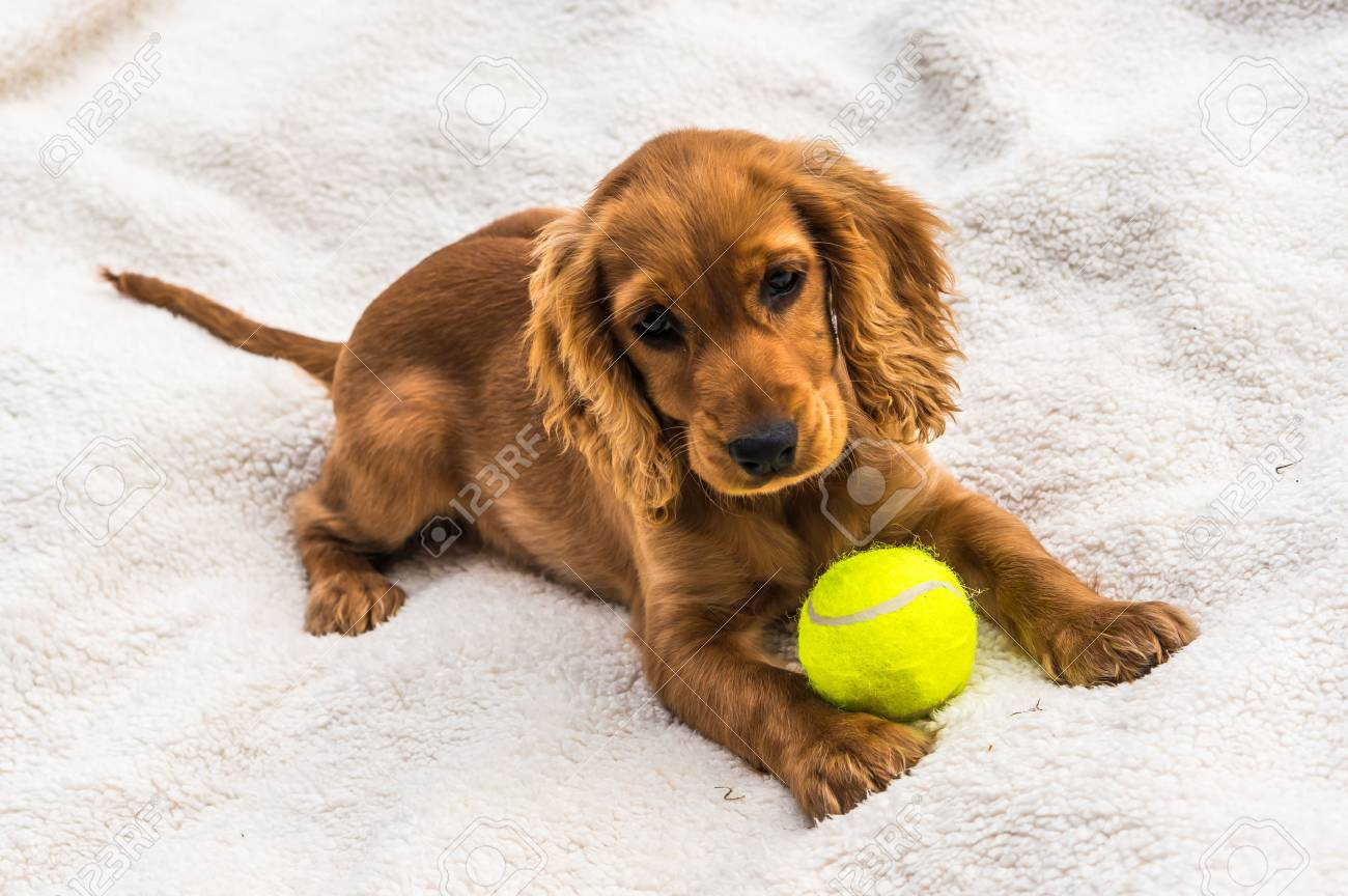 English Cocker Spaniel Puppy With Yellow Tennis Ball Isolated Stock Photo Picture And Royalty Free Image Image 73507798