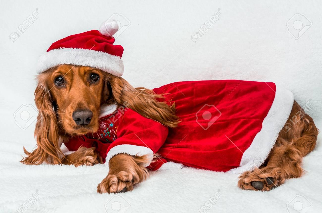 Weihnachtshund In Rotem Weihnachts-Sankt-Hut Lokalisiert Auf Weißem ...