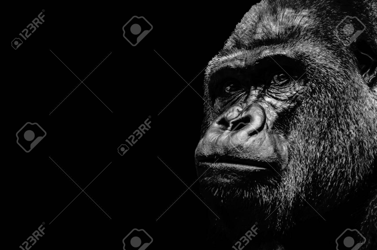 Portrait of a Gorilla isolated on black background - 81959629