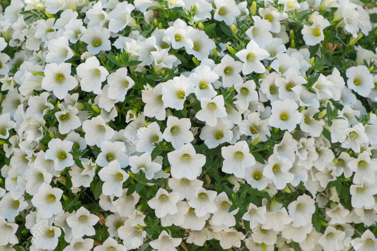 Background Of White Petunia Flowers Petunia Hybrida Natural