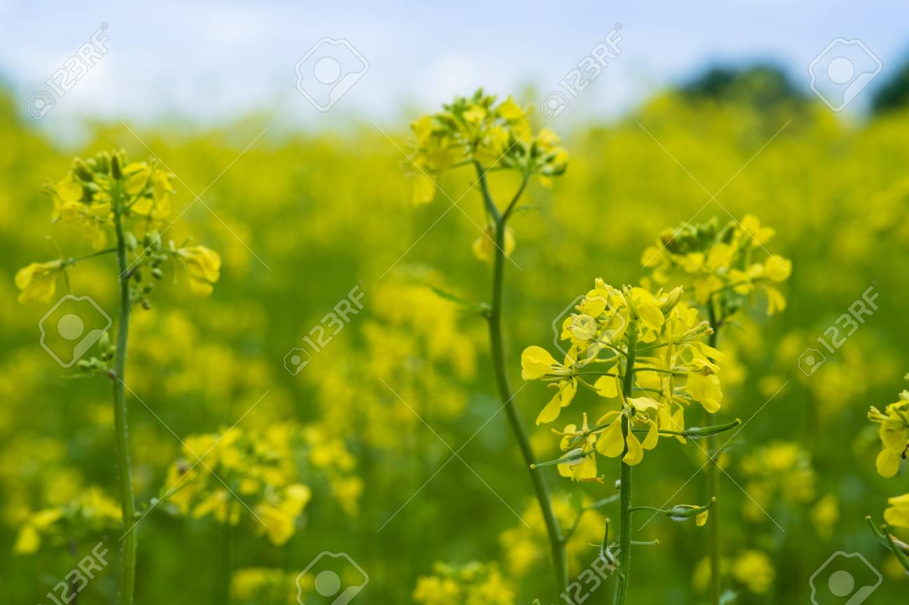 Mustard plants with green pods and beautiful yellow flowers at mustard plants with green pods and beautiful yellow flowers at the farm stock photo 94961019 mightylinksfo