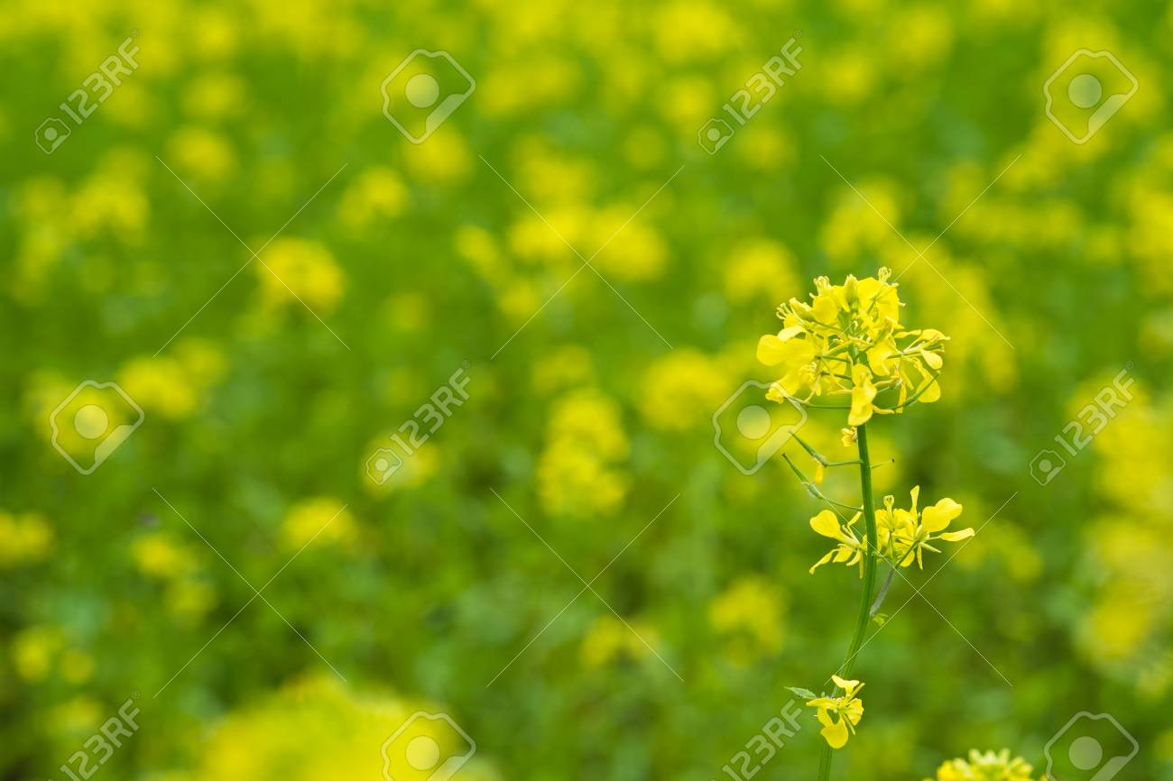 Mustard Plants With Green Pods And Beautiful Yellow Flowers At
